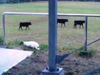 cows blog.JPG