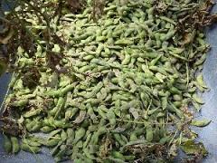 枝豆収穫2.jpg